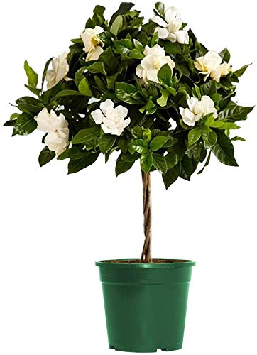 "AMERICAN PLANT EXCHANGE Gardenia Veitchii Mini Topiary Tree Live Plant, 6"" Pot, Dark Green Foliage Fragrant White Flowers"