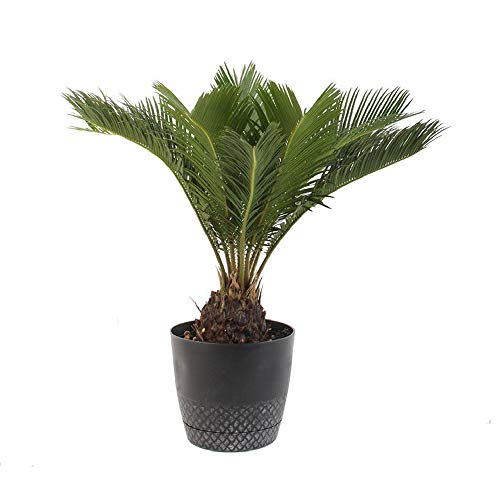 """American Plant Exchange King Sago Palm Tree Real Live Plant, 6"""" Pot, Indoor Outdoor Air Purifier"""