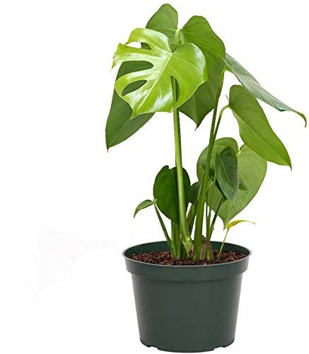 "AMERICAN PLANT EXCHANGE Philodendron Monstera Deliciosa Split Leaf Easy Care Live Plant, 6"" Pot 18-20""Tall, Indoor Air Purifier"