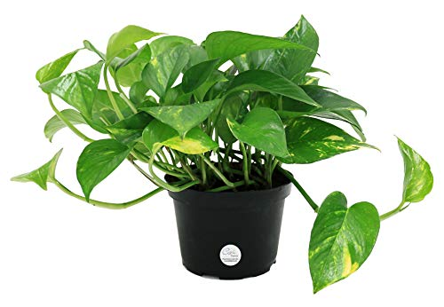 Costa Farms Easy Care Devil's Ivy Golden Pothos Live Indoor Plant, 6-Inch