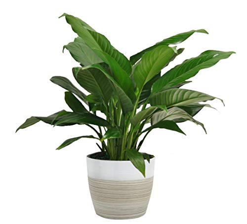Costa Farms Spathiphyllum Peace Lily Live Indoor Plant, 15-Inch, Green
