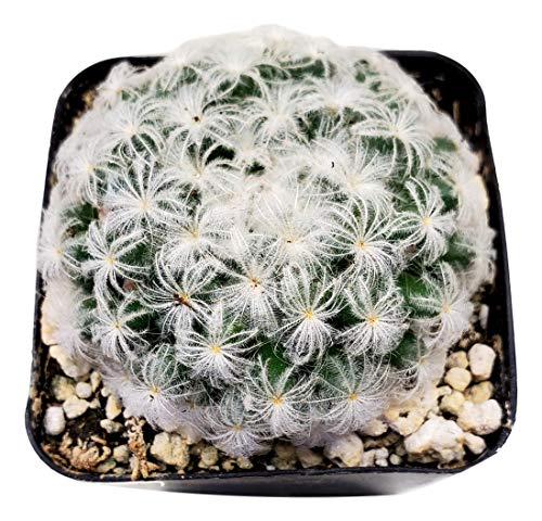 Fat Plants San Diego Living Indoor Succulents and Cactus Rooted in Plastic Planters with Soil (2.5 Inch, Feather Cactus)