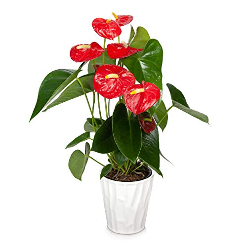 "Just Add Ice JAI260 Anthurium Easy Care Live Plants, 5"" Diameter, Red"