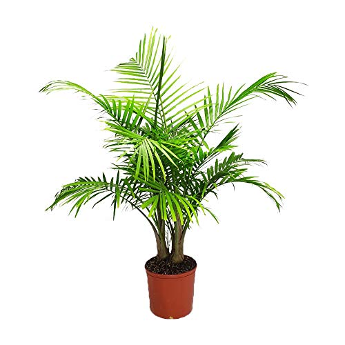 "Majesty Palm - Live Palm Tree Plant - Tropical Plants of Florida - 3 Gallon Pot - Overall Height 42"" to 48"" (Plant Only)"