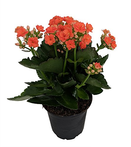 "Orange Kalanchoe - Calandiva - 4"" Pot - in Bud and Bloom"