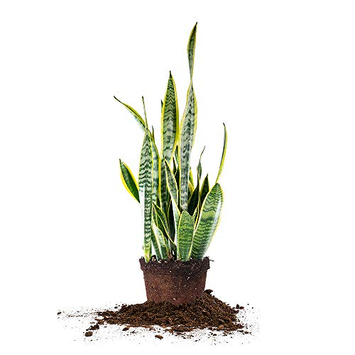 Perfect Plants Snake Plant Sansevieria Trifasciata Laurentii 16in Tall | Easy Care Houseplant | Perfect for Low to Bright Light Conditions, 6 in Grower's Pot