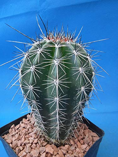 """Saguaro Cactus 5"""" to 10"""" Tall 8 to 10 Years Old (Shipped Bare Root!)"""